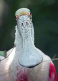 Roseate Spoonbill Portrait. A close-up portrait of a Roseate Spoonbill (Platalea ajaja Stock Photos