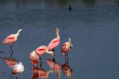 Roseate Spoonbill portrait. Roseate spoonbill group having breakfast in the lake Stock Images