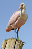 Roseate Spoonbill on post Royalty Free Stock Photo