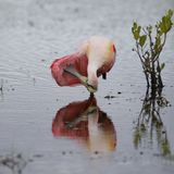 Roseate Spoonbill preening swój piórka - Merritt wyspa Wildlif Obrazy Royalty Free