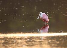 Roseate Spoonbill przy wschodem słońca Obraz Royalty Free