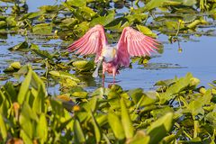 Roseate Spoonbill Ready For Flight Stock Images