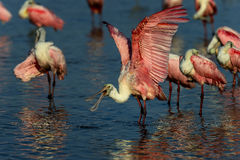 Roseate spoonbill, sanibel Royalty Free Stock Image