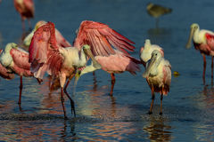 Roseate spoonbill, sanibel Stock Photo