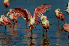 Roseate spoonbill, sanibel Stock Photos