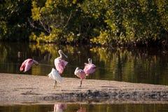 Roseate spoonbill shorebird Platalea ajaja. In a marsh on Sanibel Island, Florida Royalty Free Stock Photos