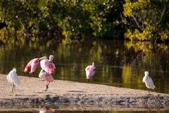 Roseate spoonbill shorebird Platalea ajaja. In a marsh on Sanibel Island, Florida Royalty Free Stock Image