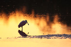 Roseate Spoonbill silhouette Royalty Free Stock Image