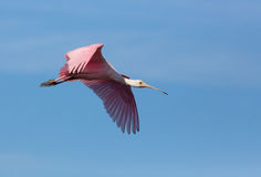 Roseate Spoonbill Soars. A roseate spoonbill, swith its long paddle-shaped beak and pink plumage, soars in a blue Florida sky Stock Image