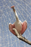 Roseate Spoonbill som balanserar på filial Arkivbilder