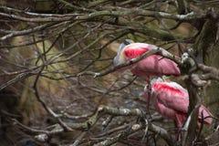 Roseate Spoonbill som roosting i ett träd (Plataleaajajaen) Arkivfoto