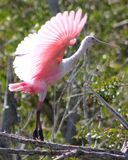 Roseate Spoonbill Takes Flight Stock Images