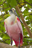 Roseate spoonbill on a tree branch Stock Image