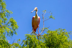 Roseate Spoonbill in a Tree Royalty Free Stock Image