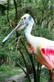 Roseate Spoonbill in tropical setting stock photos