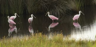 Four Pink Roseate Spoonbill Wading Birds Populate a Georgia Swamp Stock Photo