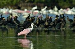 Roseate spoonbill w lagunie Obraz Royalty Free