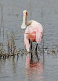 Roseate Spoonbill Wading in a Shallow Pond - Florida Royalty Free Stock Photography