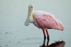 Roseate Spoonbill wading in a shallow pond - Merritt Island, Florida stock image