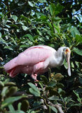 Roseate Spoonbill wading in the tree Royalty Free Stock Photography