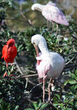Roseate Spoonbill wading in the tree Royalty Free Stock Images