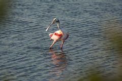 Roseate spoonbill wading in the water at Merritt Island, Florida Stock Image
