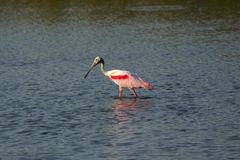Roseate spoonbill wading in the water at Merritt Island, Florida Royalty Free Stock Image