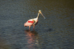 Roseate spoonbill wading in the water at Merritt Island, Florida. Roseate spoonbill, Platalea ajaja, wading while fishing at Merritt Island National Wildlife royalty free stock photography
