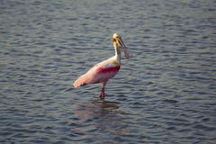 Roseate spoonbill wading in the water at Merritt Island, Florida. Roseate spoonbill, Platalea ajaja, with an open bill, wading while fishing at Merritt Island stock photo