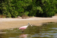 Roseate spoonbill in water near beach Stock Photos