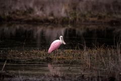 Roseate spoonbill waterfowl brodzący ptak dzwonił Platalea ajaja Zdjęcie Royalty Free
