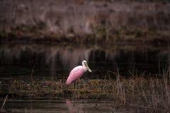 Roseate spoonbill waterfowl brodzący ptak dzwonił Platalea ajaja Fotografia Royalty Free