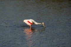 Roseate spoonbill watuje z swój rachunkiem w wodzie, Floryda Zdjęcia Stock