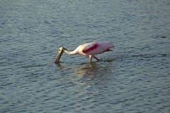 Roseate spoonbill watuje z swój rachunkiem w wodzie, Floryda Zdjęcie Royalty Free