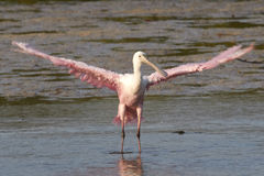 Roseate Spoonbill with Wings Extended Stock Image