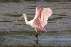 Roseate Spoonbill with Wings Up Stock Photo