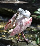 A Roseate Spoonbill #3. This is a Winter picture of a Roseate Spoonbill on exhibit at the Lowry Park Zoo located in Tampa, Florida in a Hillsborough County. This royalty free stock images