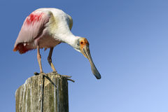 Roseate Spoonbill on wood post Royalty Free Stock Image