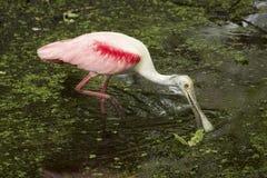 Roseate spoonbill zamiata swój rachunek w wodzie, Floryda evergl Zdjęcie Royalty Free