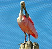 roseate spoonbills Obrazy Royalty Free