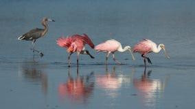 Free Roseate Spoonbills And Reddish Egret, J. N. ``Ding`` Darling Nati Stock Photos - 83248323