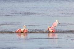 Roseate Spoonbills Bathing, J.N. Ding Darling National Wildl. Roseate Spoonbills & x28;Platalea ajaja& x29; Bathing, J.N. Ding Darling National Wildlife Refuge Royalty Free Stock Image