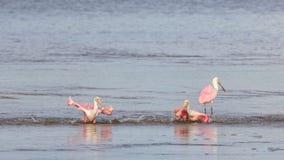 Roseate Spoonbills Bathing, J.N. Ding Darling National Wildl. Roseate Spoonbills & x28;Platalea ajaja& x29; Bathing, J.N. Ding Darling National Wildlife Refuge Stock Photography