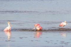 Roseate Spoonbills Bathing, J.N. Ding Darling National Wildl. Roseate Spoonbills & x28;Platalea ajaja& x29; Bathing, J.N. Ding Darling National Wildlife Refuge Stock Image