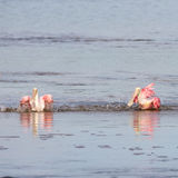 Roseate Spoonbills Bathing, J.N. Ding Darling National Wildl Stock Images
