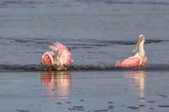 Roseate Spoonbills Bathing, J.N. Ding Darling National Wildl Stock Image