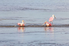 Roseate Spoonbills Bathing, J.N. Ding Darling National Wildl Stock Photos