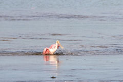 Roseate Spoonbills Bathing, J.N. Ding Darling National Wildl Royalty Free Stock Images