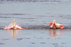 Roseate Spoonbills Bathing, J.N. Ding Darling National Wildl Stock Photography