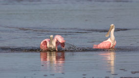 Roseate Spoonbills Bathing, J.N. Ding Darling National Wildl Stock Photo